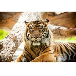Fototapeta tygrys 487