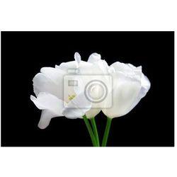 Fototapeta Piękne białe tulipany na czarnym tle