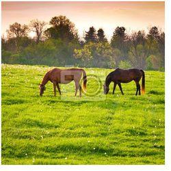 Fototapeta Konie na gruntach rolniczych