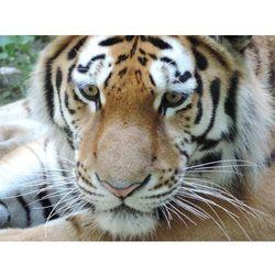 Fototapeta tygrys 142