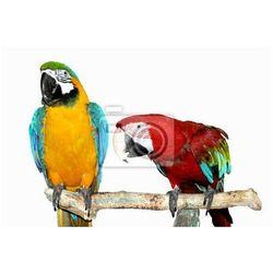 Fototapeta dwie papugi