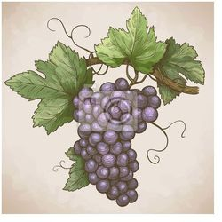 Naklejka winogrona grawerowania na gałęzi w stylu retro