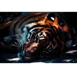 Fototapeta tygrys 431