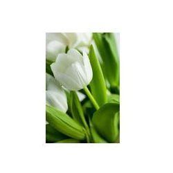 Foto naklejka samoprzylepna 100 x 100 cm - Białe tulipany